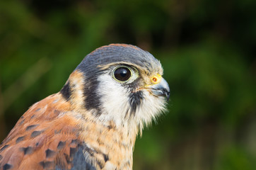 American Kestrel close-up (landscape)