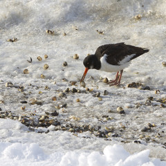 Oyster-catcher with shells