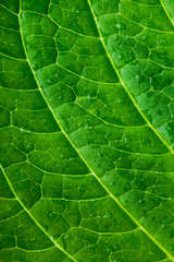 Green leaf texture. Macro