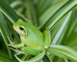 Little green frog looking