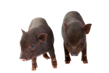 pigs isolated