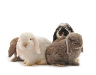 close-up on a Lop Rabbit in front of a white backgroun