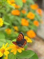 Small Copper on a yellow Melampodium