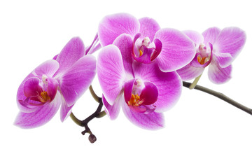 Door stickers Orchid rosa Orchidee isoliert