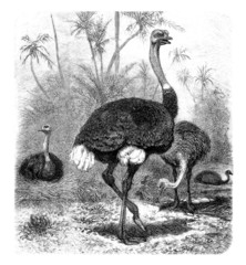 Ostrich - Autruche - Strauss