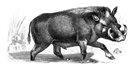 Phacochère - Warthog