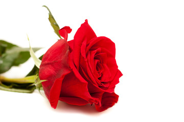Beautiful red rose isolated on the white background