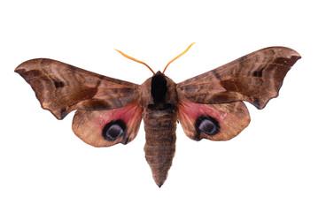 Smerinthus ocellata, the Eyed Hawk-Moth