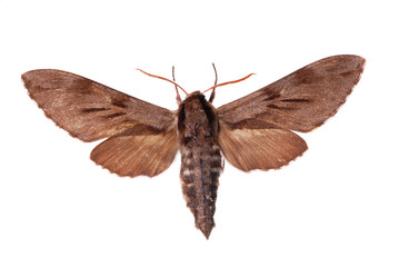 Sphinx pinastri, known as the Pine Hawk-moth