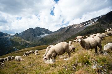 Moutons dans les Alpes