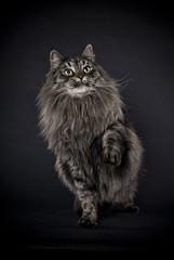 Sibirische Katze, stehend, schwarzer Hintergrund