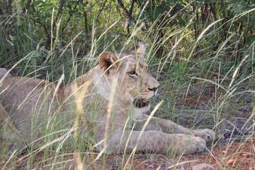 Löwen - die Könige