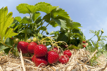 Strawberry plantation