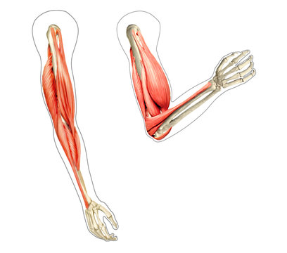 Human arms anatomy diagram, showing bones and muscles while flex