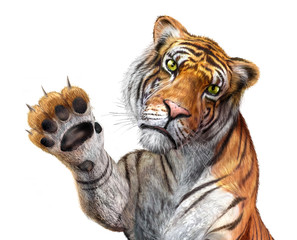 Tiger close up, facing the viewer, with the right hand up and cl