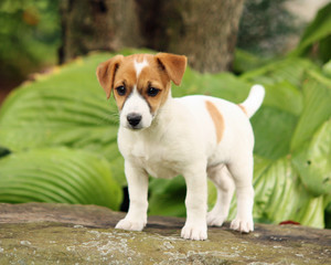 Jack Russell Standing On A Rock
