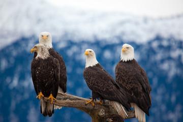 Garden Poster Eagle American Bald Eagles