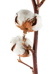 Two cotton bolls
