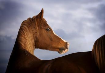 Wall Mural - arab horse
