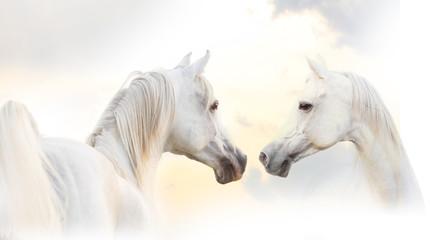 Wall Mural - arabian white horse