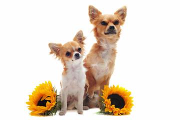 chihuahuas et fleurs de tournesol