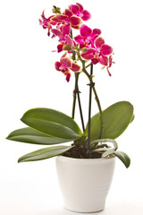 Fototapeta blooming phalaenopsis