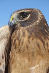 Retrato de Gavilán Rastrero, Northern Harrier, Circus cyaneus