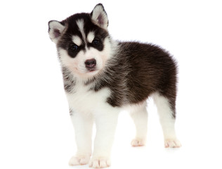 puppy a husky , isolated.