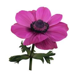 Pink anemone flower