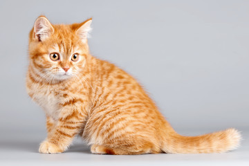 Red kitten on grey background