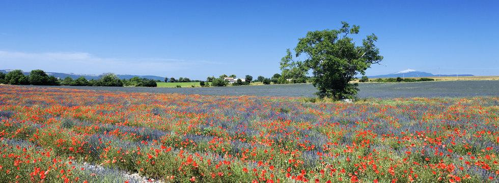 panoramic lavender field