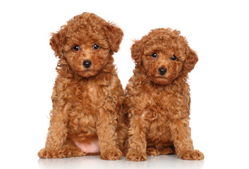 Wall Mural - toy Poodle puppies portrait