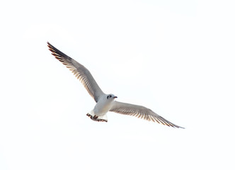 flying seagull over white background