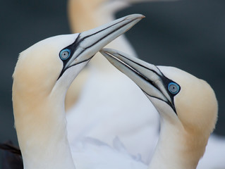 Loving couple of gannets