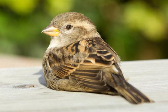 Sparrow on a table
