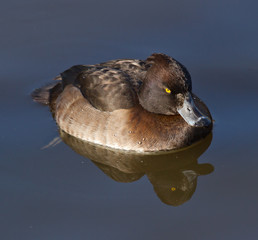 Female Tufted duck