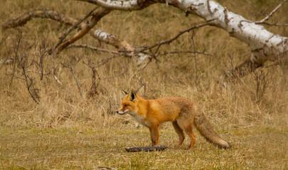 A fox in Holland