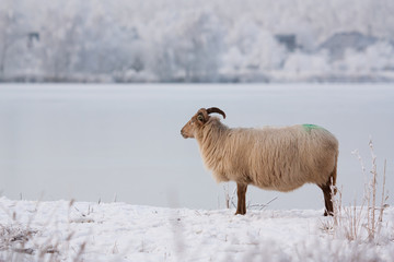 A sheep in a winter landscape