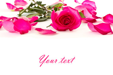 beautiful red rose and rose petals