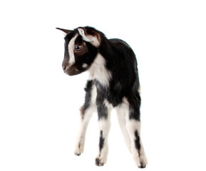 little goat isolated