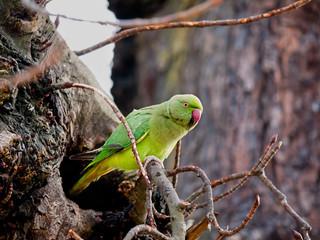 Rose-ringed Parakeet (Psittacula kramer) wild in London with nes Fotomurales
