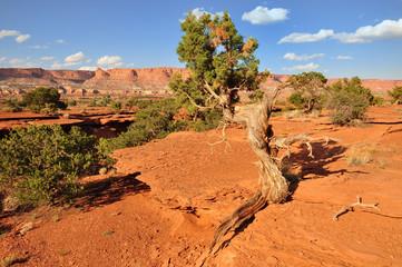 Fototapeta drzewo arizony obraz