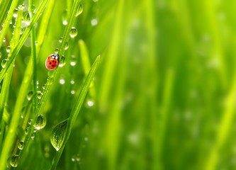 Poster Lieveheersbeestjes Early morning in a spring grass and the ladybug.