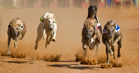 racing greyhounds