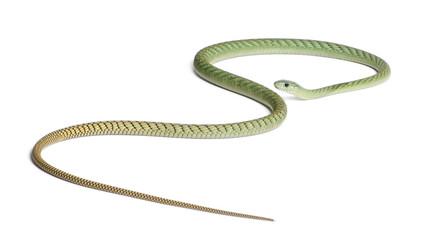 Western green mamba  - Dendroaspis viridis, poisonous