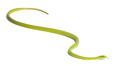 Eastern green mamba  - Dendroaspis angusticeps, poisonous