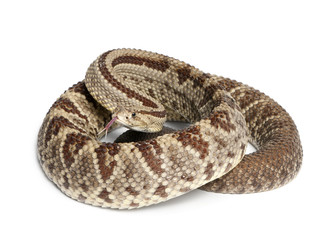 South American rattlesnake - Crotalus durissus,  poisonous