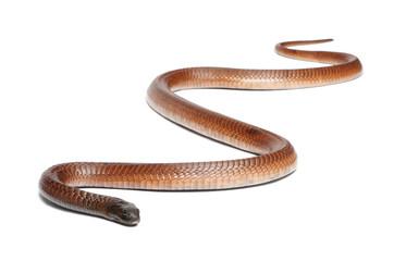 Egyptian cobra - Naja haje, poisonous
