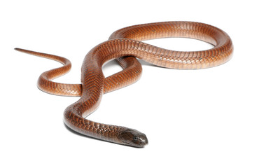 Egyptian cobra - Naja haje, poisonous
