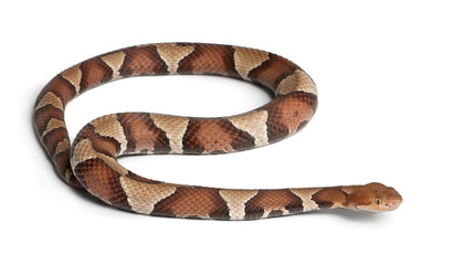 Copperhead snake or highland moccasin - Agkistrodon contortrix
